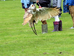 Owl Dancing (pointonjayne) Tags: owl ipstones staffordshire flight birds