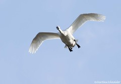 Tundra Swan AN (martinaschneider) Tags: swan tundraswan flight flying bird birds aylmer ontario spring bluesky
