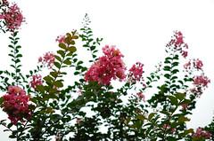 Crape myrtle (hidesax) Tags: crapemyrtle flower cloudy sky ageo saitama japan hidesax leica x2 2016