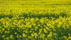 Rapeseed fields (Nelo Hotsuma) Tags: rapeseed oil flowers field europe england united kingdom uk yorkshire east riding