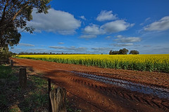 CANOLA BETWEEN GRIFFITH AND ARDLETHAN (16th man) Tags: griffith ardlethan canola nsw newsouthwales rapeseed canon eos eos5dmkiii
