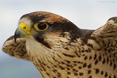 Falco (Glenn van Windt) Tags: aves bird vogel birdofprey roofvogel kestrel valk nature natuur canonef300mmf28lisusm falcon