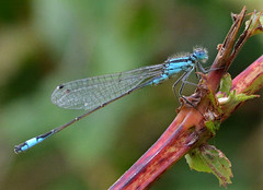 Blue-tailed Damselfly (John_E1) Tags: bluetailed damselfly ischnura elegans insect macro closeup