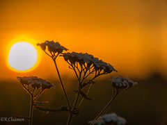 Flower in the Sunrise (ostfriese77) Tags: sunrise sunset sonnenaufgang sonnenuntergang flower blume natur nature outdoor beautiful sonne sun ostfriesland germany nikon d5100 landscape landschaft bokeh