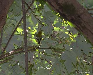 Black-throated Green Warbler_3790