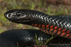Red-bellied Black Snake (Pseudechis porphyriacus) (Jules Farquhar.) Tags: redbelliedblacksnake pseudechisporphyriacus snake reptile herpetofauna wildlife herpetology squamata venomous julesfarquhar