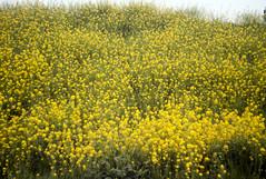 L1008485c (haru__q) Tags: leica m8 leitz summicron field mustard 菜の花