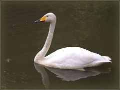 Singschwan (julia_HalleFotoFan) Tags: singschwan cygnuscygnus schwan vogel entenvogel