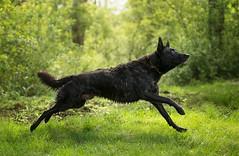 Acoda (Dackelpuppy) Tags: hollandse herder dog dutch shepherd