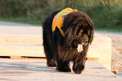 Swim Day (NicoleW0000) Tags: newfoundland dog gentle giant swim day