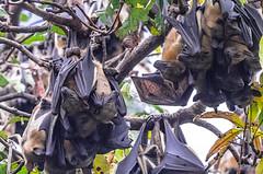 PIPISTRELLI  APPENA TORNATI    ----    BATS JUST BACK (Ezio Donati) Tags: africa cameroun yaoundearea nikond810 natura nature foresta forest uccelli birds animali animals albero tree