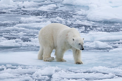 Polar Bear in the pack ice S24A2319 (grebberg) Tags: polarbear ursusmaritimus bear ursus environment ice seaice iceedge packice arcticocean svalbard