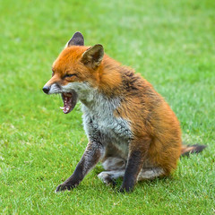 My, What Big Teeth You Have! (paulapics2) Tags: fox animal nature garden teeth canoneos5dmarkiii canonef70300mm redfox urbanfox vulpesvulpes renard sly fuchs outdoor