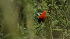 Gallo de las Rocas. Rupicola peruvianus. Andean cock-of-the-rock (Daniel Sziklai G.) Tags: gallo de las rocas rupicola peruvianus andean cockoftherock aves birds per manu cock