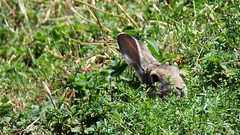 Peek-a-boo (DameBoudicca) Tags: sweden sverige schweden suecia sude svezia  kalmar rabbit kanin kaninchen lapin coniglio   ears ron ohren odo oreilles orecchio   grass grs gras pasto herbe erba   green grn grn vert verde
