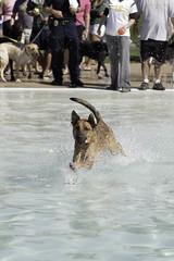 IMG_9413 (kris10pix) Tags: dogpaddle2016 dogs puppies puppy splash pool fetch dog wisconsin capitolk9s mutts purebreed leap madisonwi goodmanspool wetdog summer