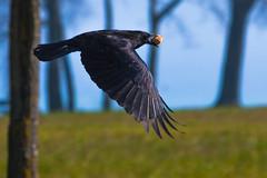 Krhe mit Beute (ChJ Pics) Tags: corvus flug krhe rabenvogel vogelflug vgel
