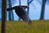Krähe mit Beute (ChJ Pics) Tags: corvus flug krähe rabenvogel vogelflug vögel