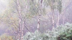 Signs (Tom_Drysdale) Tags: wood autumn silver fog birch bridge cobweb woodland mist dew queensferry south 2016 tree september forth