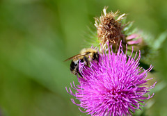 Busy as a Bee (steveretka) Tags: ifttt 500px bee bees honeybee bumblebee flower purple flowers wildlife garden insect insects bug bugs animals plant green summer closeup yellow beautiful animal thistle thistles