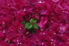 Bougainvillea (natureloving) Tags: bougainvillea macro nature flower flowersinfrance fleursenfrance flowersineurope natureloving nikon d90 afsvrmicronikkor105mmf28gifed