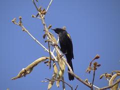 DSC06422 (familiapratta) Tags: sony dschx100v hx100v iso100 natureza pssaro pssaros aves nature bird birds montesio montesiomg brasil