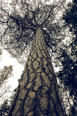X.O (Mika Tuomela) Tags: old tall pinetree finland nature forest nikon d7100 sigma