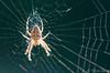 Garden spider. (Tricia Laing) Tags: 82116 nurseryrhyme