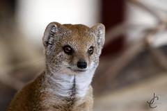 Marwell: Yellow Mongoose (Jasmine'sCamera) Tags: marwellzoo marwell marwellwildlife animals animal yellowmongoose mongoose
