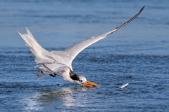 Missed! (bmse) Tags: elegant tern bolsa chica fish fishing miss target canon 7d2 400mm f56 l bmse salah baazizi wingsinmotion