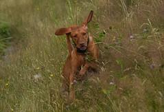 (Ian Threlkeld) Tags: d750 nikon nikonphotography nikonphotos nikonphoto mynikonlife britishcolumbia pittmeadows pittmeadowsdykes summer dogs dogsatplay dogsofflickr adogslife nikondogs rescuedogs canine irt ff popular explorebc explore canadian