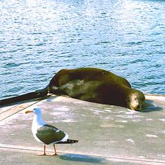 Sea Lion Siesta (maralina!) Tags: sealion otarie earedseal harbor marina marinadelrey california southerncalifornia socal losangeles la summer t estival critter sea sealife lonmarino seelwe seal marinemammal seagull water reflection