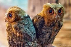 Two Owls (orgazmo) Tags: birds dof bokeh olympus owls flickraward micro43 flickraward5 flickrawardgallery mzuiko45mmf18 omdem5 freedomtosoarlevel1birdphotosonly freedomtosoarlevel2birdphotosonly freedomtosoarlevel3birdphotosonly freedomtosoarlevel3birdsonly freedomtosoarlevel3birsdonly