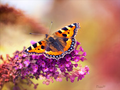 Small Tortoiseshell (Rosane Miller) Tags: uk pink red summer england butterfly bokeh wildlife smalltortoiseshell 2012 tamron90mm codurham buddleja nymphalisurticae canon60d