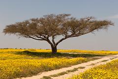 Spring in the Negev (Ami Faran) Tags: color tree yellow canon landscape israel asia negev flickraward 5dmarkii flickraward5 blinkagain bestofblinkwinners amifaran blinksuperstars