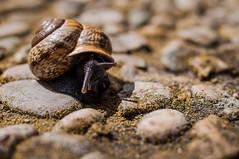 On the way (traario) Tags: light sun macro nature animal photography licht fotografie natur shell snail makro sonne schnecke tier schneckenhaus lebewesen highqualityanimals mariotraar