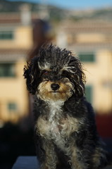 IMGP2975 (Saranga Mauro) Tags: dog cane yorkshire terrier animale barboncino animaledomestico meticcio amicodelluomo