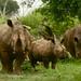 Rinocerontes em peso!