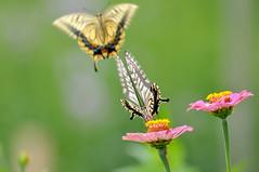 Zinnia and Swallowtail butterflies (myu-myu) Tags: nature japan butterfly insect nikon zinnia swallowtail flowerr   zinniaelegans     d300s aiafsnikkor300mmf4difed