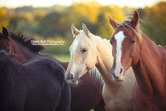Friendly Faces - Day 141/365 (Olivia L'Estrange-Bell) Tags: horses horse arab chestnut palomino anglo thoroughbredhorse