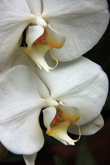White Orchids (Melly481) Tags: white orchid flower closeup newyorkbotanicgarden