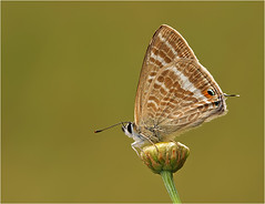 Long Tailed Blue (nigel kiteley2011) Tags: buterflies lampidesboeticus longtailedblue