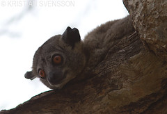 Red-tailed Sportive Lemur (Lepilemur ruficaudatus) (macronyx) Tags: nature animal animals mammal wildlife lemur mammals madagascar lepilemur redtailedsportivelemur lepilemurruficaudatus dggdjur sportivelemur