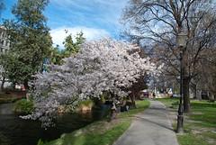 Beautiful  Blosson Tree (Jocey K) Tags: city bridge trees christchurch sky people water buildings river blossom nz avon pathway blossomtree