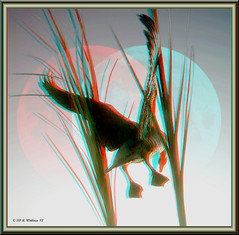 Goose In The Moon (starg82343) Tags: sculpture moon bird feet nature silhouette photoshop reeds outside outdoors effects fly stereoscopic 3d wings md artwork wildlife flight maryland anaglyph georgetown goose easternshore stereo waterfowl takeoff lunar stereoscopy stereographic thegranary brianwallace