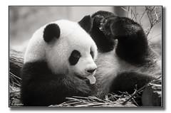 Panda géant adulte mais facétieux