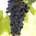 2012 Vyborny Cabernet Harvest 0006