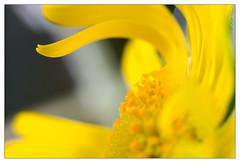 Yellow (leo.roos) Tags: flowers green yellow minolta buds nex enlargerlens darosa leoroos nex5n erokkor5045