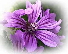 Flor (celicom) Tags: naturaleza flora flor mimamorflowers