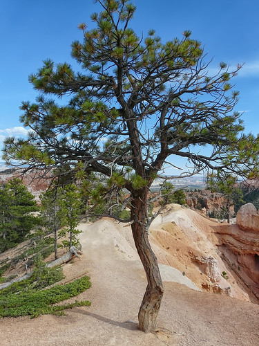 Just another tree in Bryce Canyon